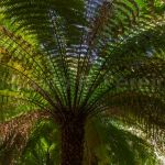 Feto Arboreo - Soft Tree Fern