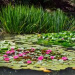 Japanese Garden | Water Lilies