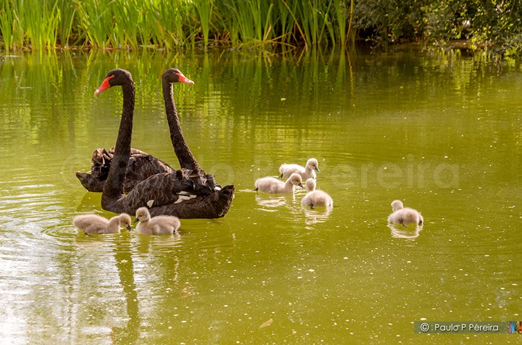 Cygnets in the lake