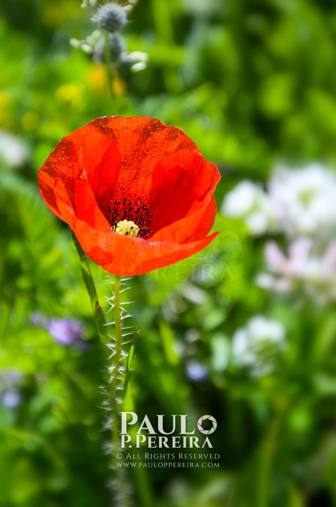 Poppy - Mother's Day