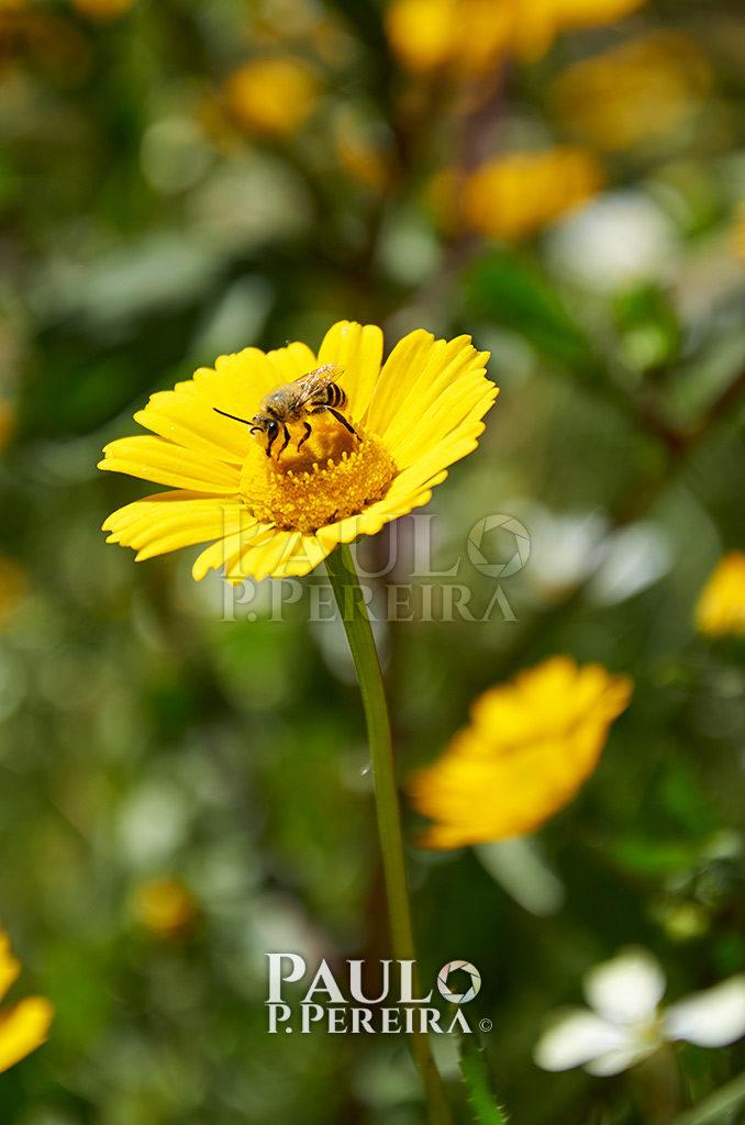 Bee - Serra de Montejunto