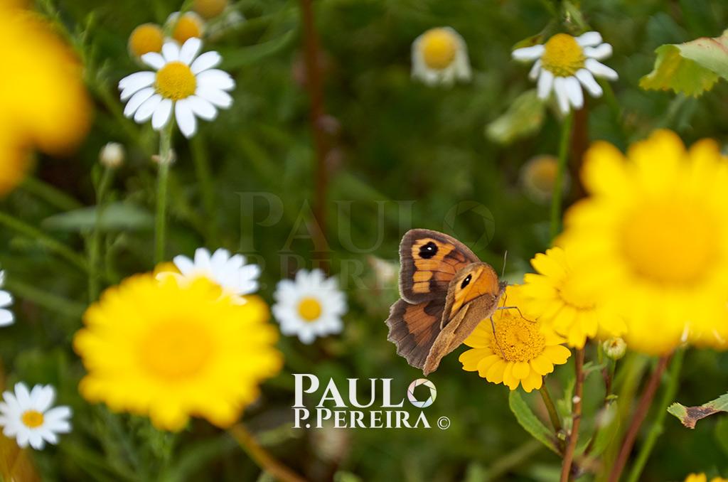 Butterfly - Serra de Montejunto