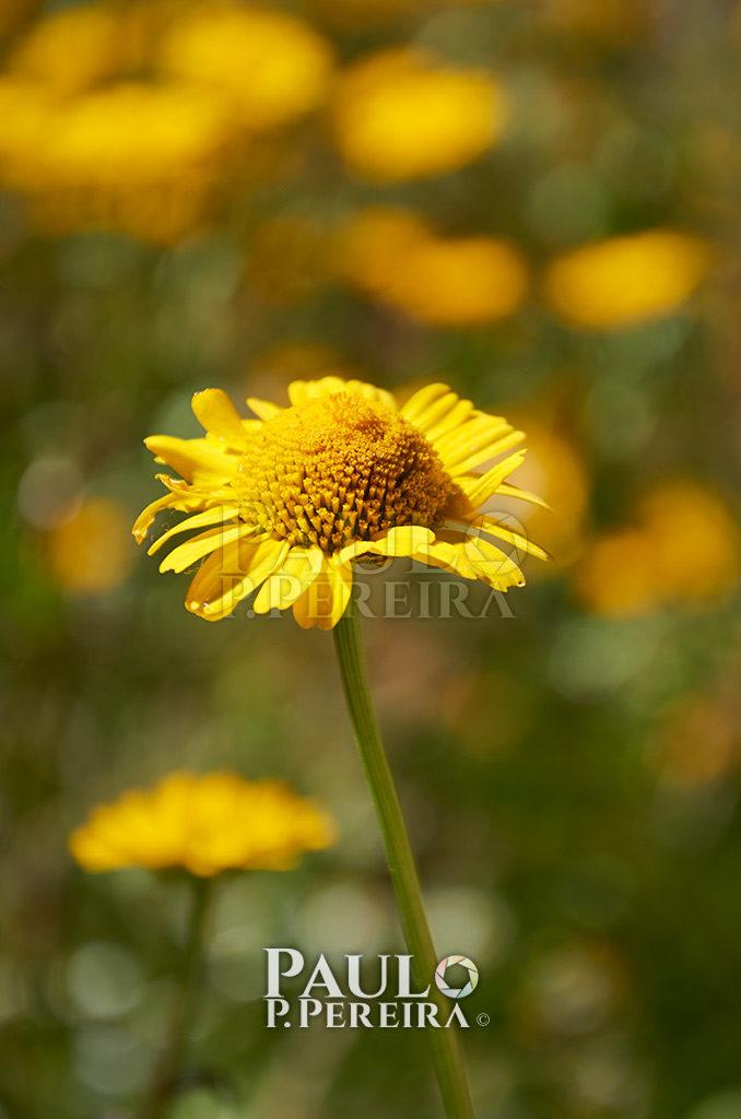 Wild Flower - Serra de Montejunto